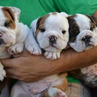 English bulldog puppies for  a good home (Pets & Animals - Birds) in All Cities