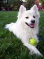 Tamable and beautiful Eskimo Dog for sale (Pets & Animals - Birds) in All Cities