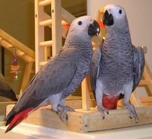 Pair of Hand raised African Grey parrots. (Pets & Animals - Birds) in All Cities