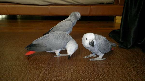 Mommy African Grey For You Now (Pets & Animals - Birds) in All Cities
