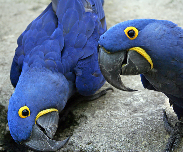 Xmass Pair Of Hyacinth Macaw Parrots For Adoption (Pets & Animals - Birds) in All Cities