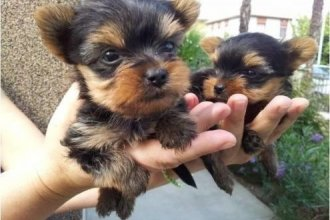 Yorkshire Terrier Puppies (Pets & Animals - Birds) in All Cities