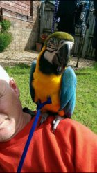 Blue and Gold Macaw (Pets & Animals - Birds) in All Cities