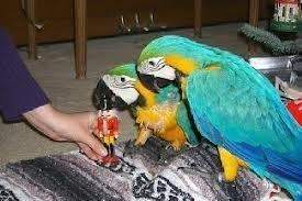 Blue And Gold Macaw parrots ready txt (213) 465 7496 (Pets & Animals - Birds) in All Cities
