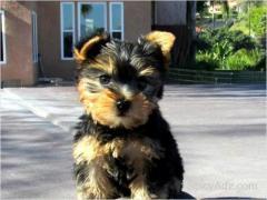 Darling Teacup Yorkies Puppies For X-Mass Adoption Text (609) 807-2598