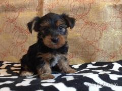 Teacup yorkie puppies for X Mas present