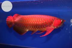 Super Red Asian Arowana,Jardini Arowana,Chili Red,Golden Arowana