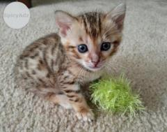 Healthy Bengal Kittens available Text (701) 409-0063