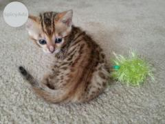 Cute Bengal Kittens available Text (701) 409-0063