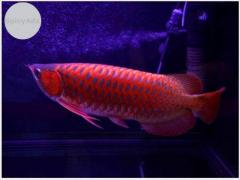 Asian Red arowanas from Asia And Many Others Now Call or Text At  (760) 585-7652