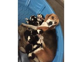 Beautiful Beagle puppies looking for a great home. in City of London