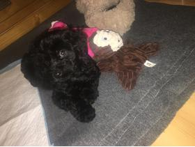 Stunning Black Cockapoo Puppy for Sale in Southwark
