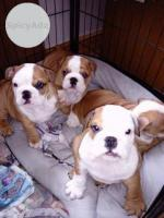 British Bull Dog Puppies
