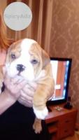Registered Bulldog Puppies Dogs And Bitches