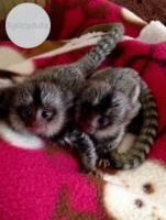 Quality Marmoset & Capuchin Available