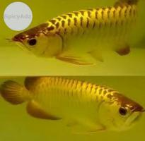 Good Asian Red Arowana, Super Red Arowanas & Others Call