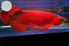 Grade AAA super red Arowana fishes and others for sale