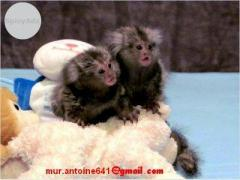 Two marmoset monkeys
