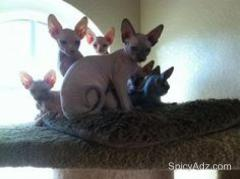 Awesome Sphynx Kittens Ready Now