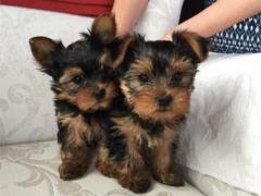 Top quality male and female Teacup Yorkie Puppies for sale