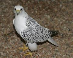 Beautiful Falcon Birds for sale