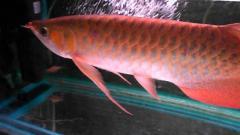 Super red arowana Asian red Leichardti Arowana