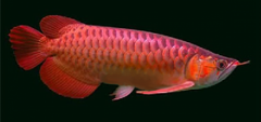 Golden X back Arowana Saratoga Red tail golden arowana Blue Base Arowana