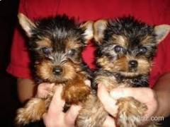 Cute outstanding Teacup Yorkie puppies Ready Text (609) 807-2598