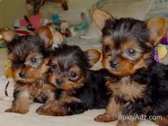 Wonderful Teacup Yorkie puppies Ready Text (609) 807-2598