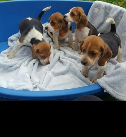 beagle puppies for rehoming - 1