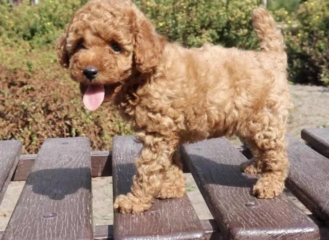 toy Poodle puppies Red, Apricot and Black - 1