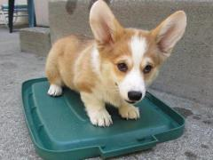 gorgeous pembroke welsh corgis puppies