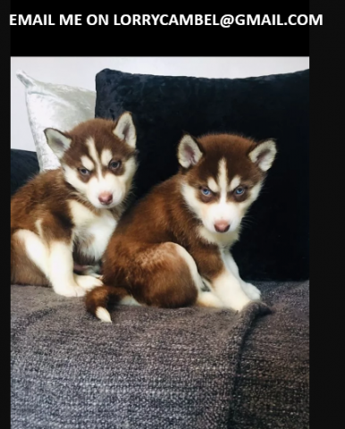 SIBERIAN HUSKY PUPPIES READY FOR SALE NOW