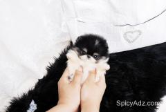 Gorgeous female Pomeranian puppy available.