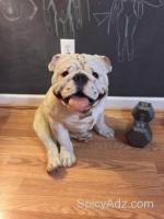 Life size English Bulldog statue - $50 (Auburn)
