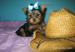 Charming Teacup Yorkie Pups text (850) 466-7951