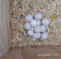 Fresh Laid Guaranteed Fertile Tested Parrot Eggs Available