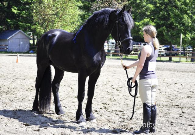 Cute and affectionate Friesian Horse for Sale!!! New York - Free