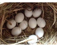 parrots and fertile parrot eggs for sale (678)719-0332