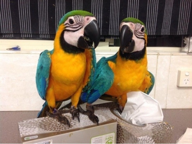 Blue and Gold Macaw parrots ready - 1