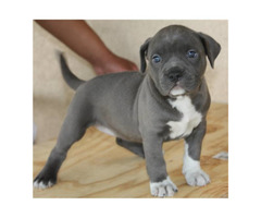 American Pit Bull Blue Line Puppies