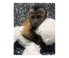 Capuchin Monkey For sale