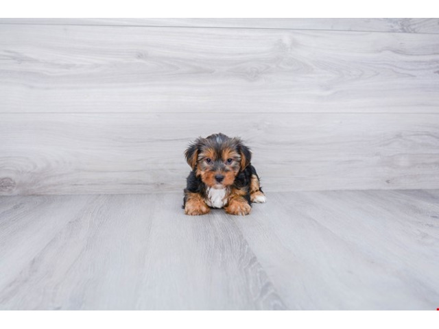 Yorkie puppies for adoption text (971)318-3477 - 1