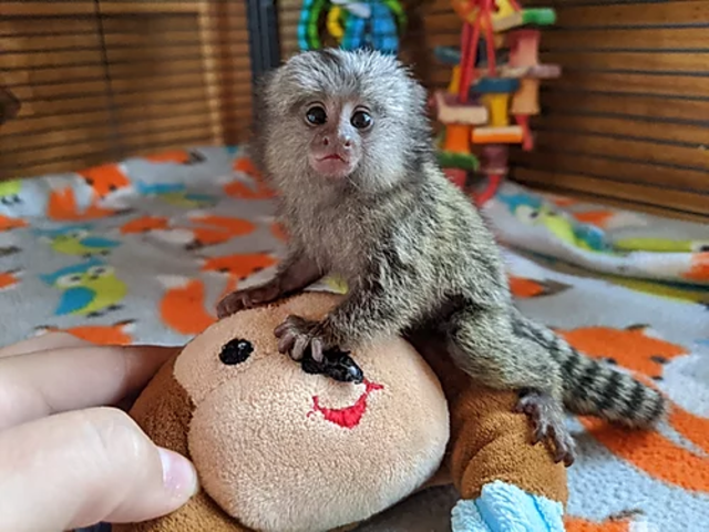 Marmoset monkeys available. txt 971-318-3477 - 1