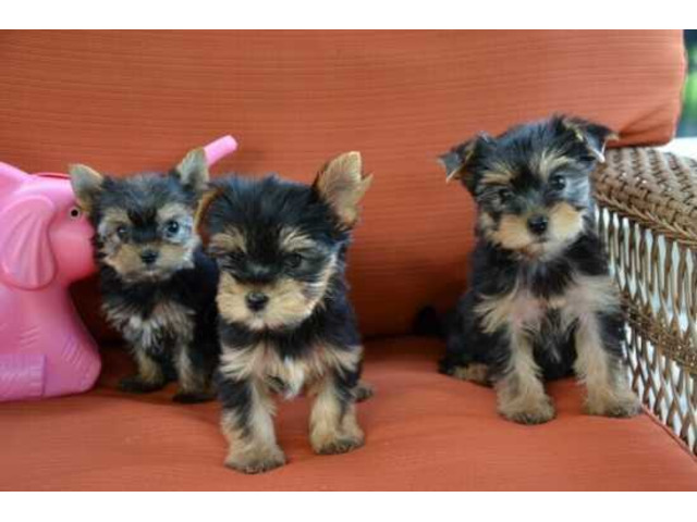 Tiny Yorkie Puppies For Adoption - 1
