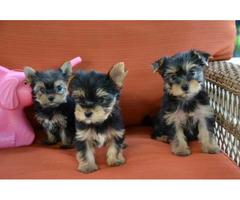 Tiny Yorkie Puppies For Adoption