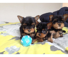 Gorgeous Tiny Yorkie Puppies For Adoption. Very Playful and friendly.