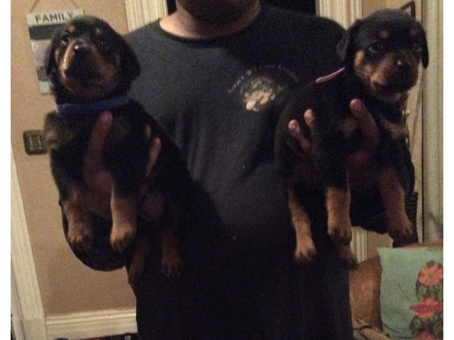 Beautiful AKC German Rottweiler Puppies.Email { peggyblake6@gmail.com } - 1