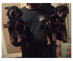 Beautiful AKC German Rottweiler Puppies.Email { peggyblake6@gmail.com }