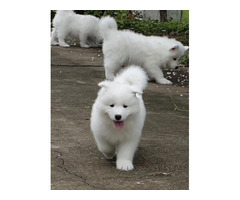 Adorable Samoyed Pups.Email us on { peggyblake6@gmail.com }